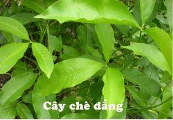 che-dang-la-gi, Những trường hợp không nên sử dụng chè đắng